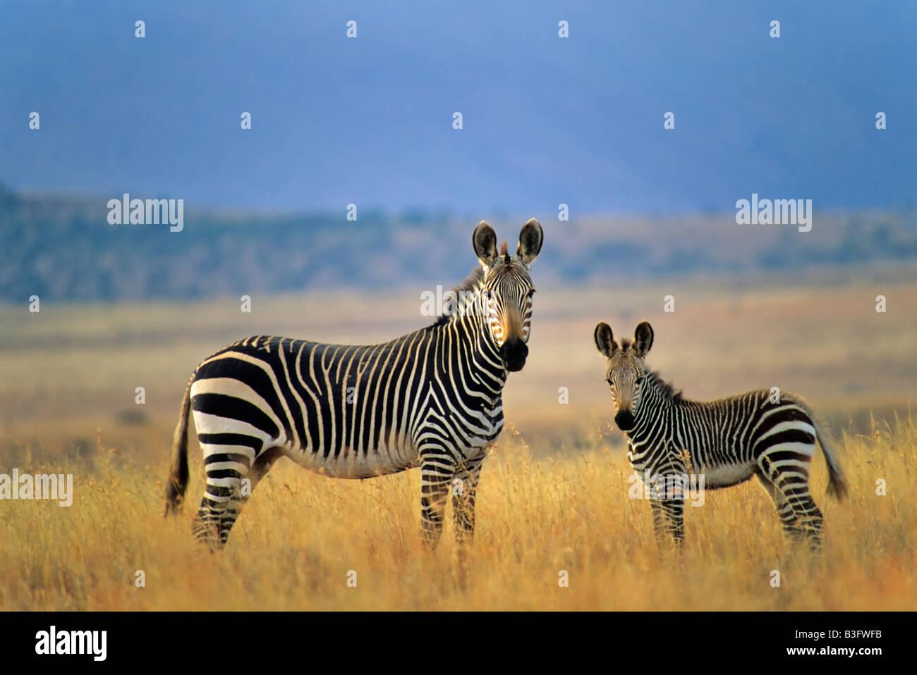 Zebra Poster Stock Photos Amp Zebra Poster Stock Images