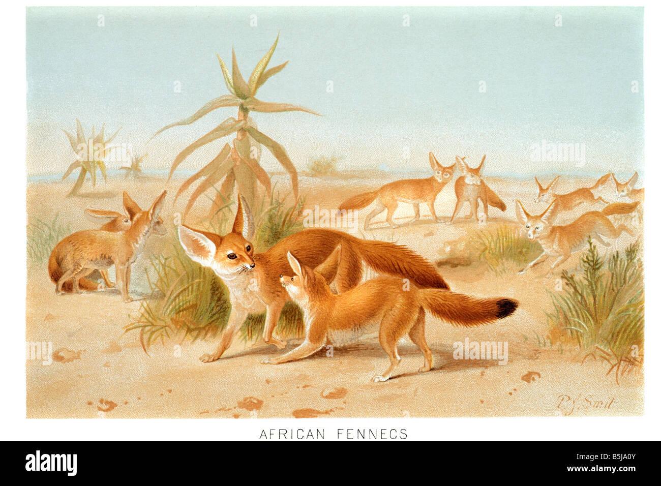 Fennec Fox Vulpes Zerda Nocturnal Fox Sahara Desert North
