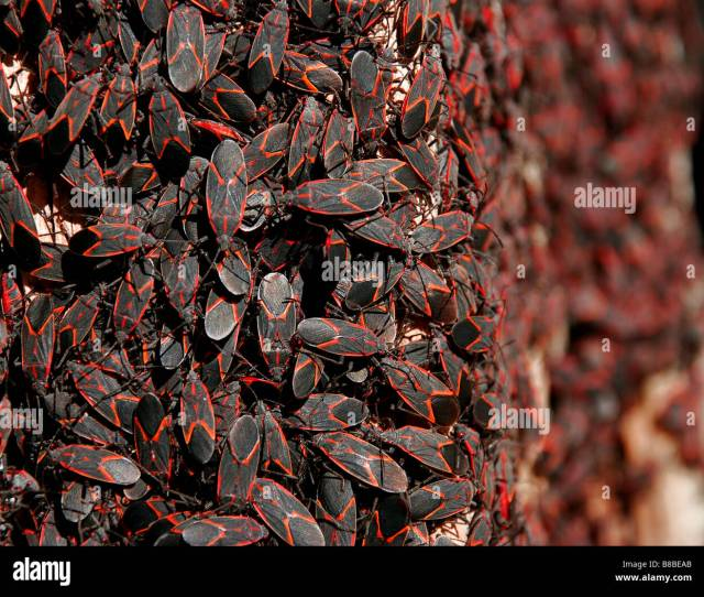 Infestation Or Large Group Of Red And Black Box Elder Bugs