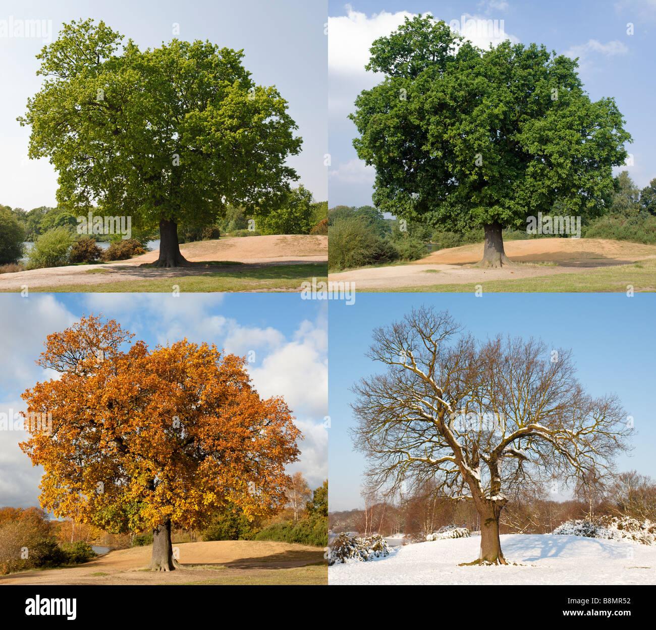 Oak Tree Through The Seasons Stock Photo