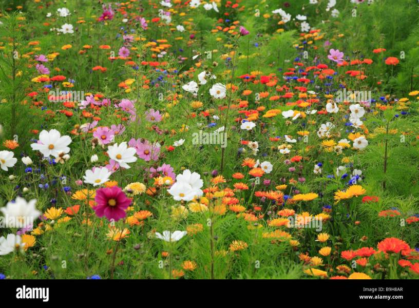 Meadow wildflower meadow flower meadow summer meadow flowers plants     Meadow wildflower meadow flower meadow summer meadow flowers plants bloom  summer flowers meadow flowers summer cosmos zinnias