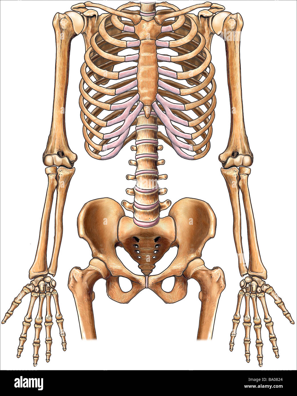 This Stock Medical Image Features The Normal Anterior