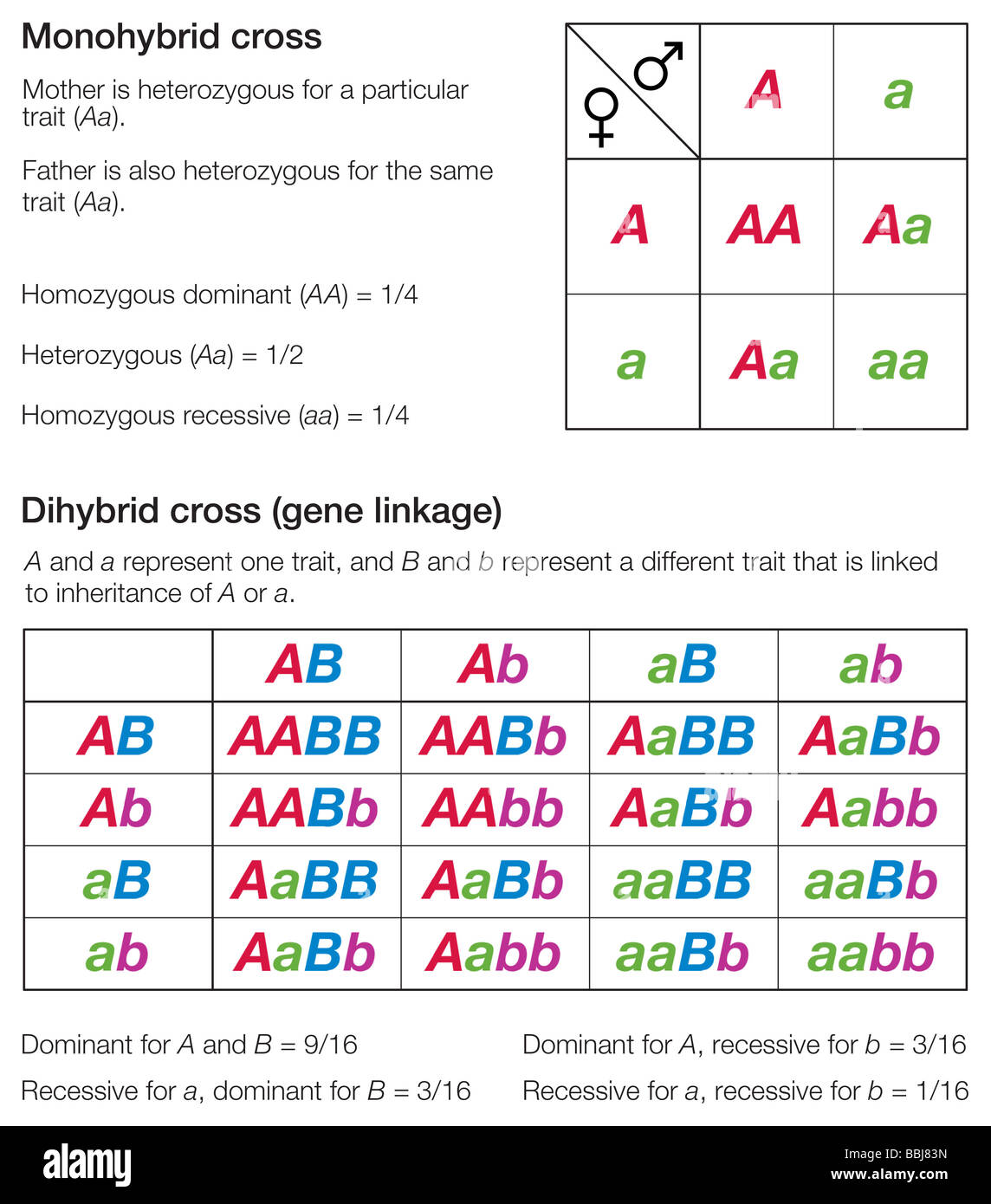Punnett Squares Of A Monohybrid And A Dihybrid Cross Used