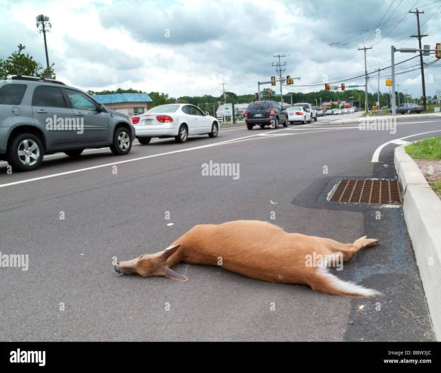 Dead Deer On Public Road In Suburban Pennsylvania Usa Stock Image