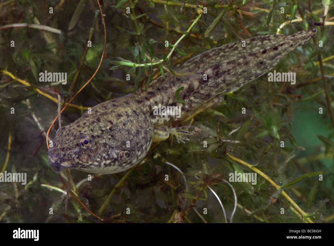 Green Frog Tadpole Rana Clamitans Intermediate Stage