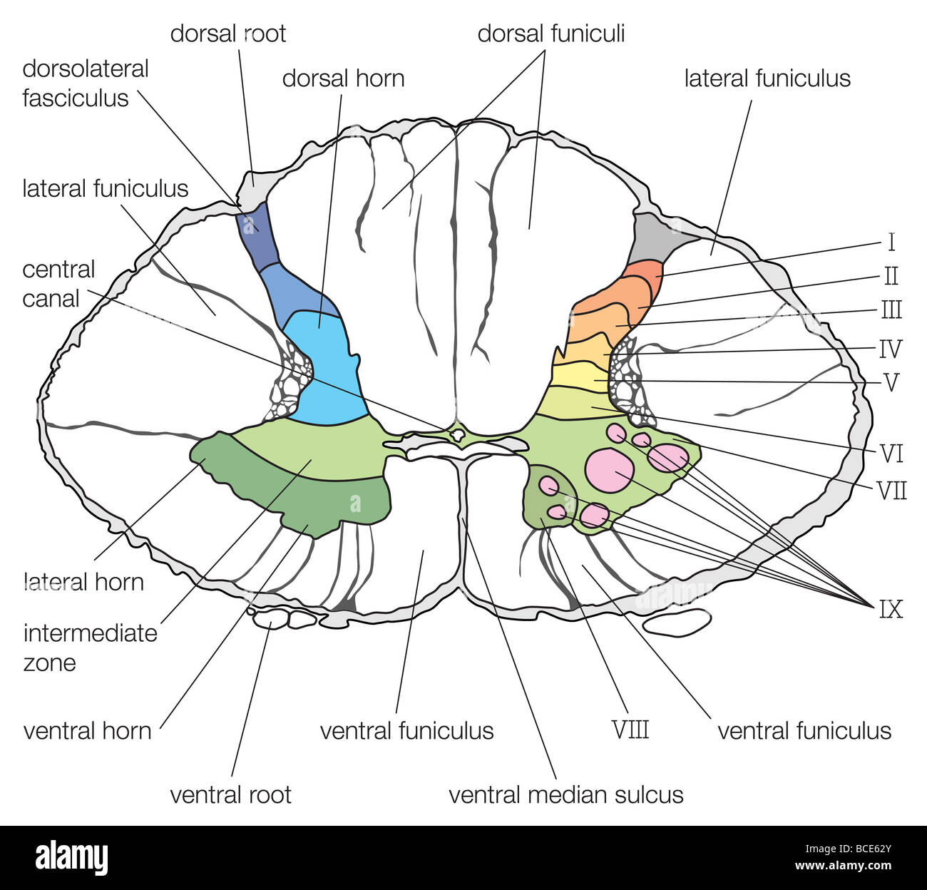 A Cross Section Of The Lower Cervical Segment Of The