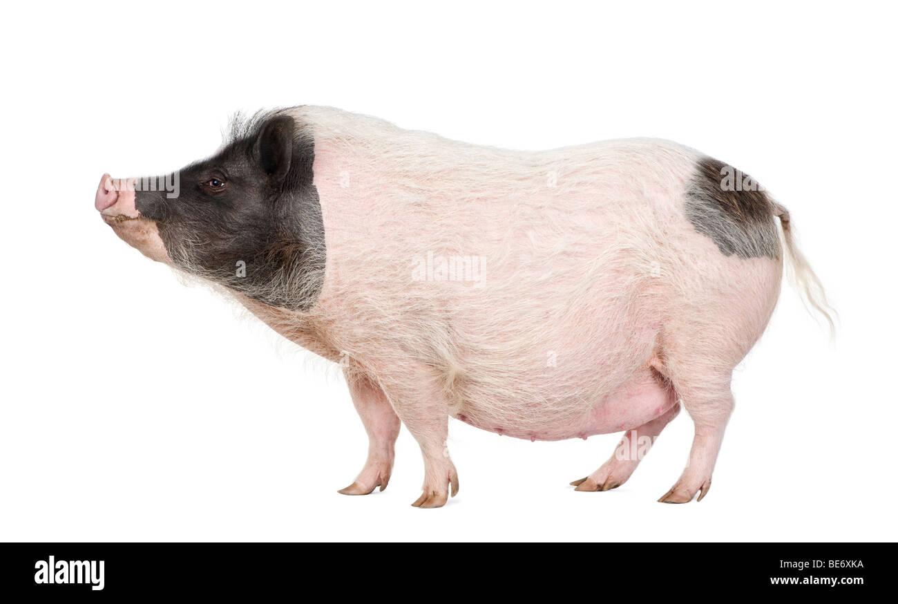 Big Fat Pig Stock Photos Amp Big Fat Pig Stock Images Alamy