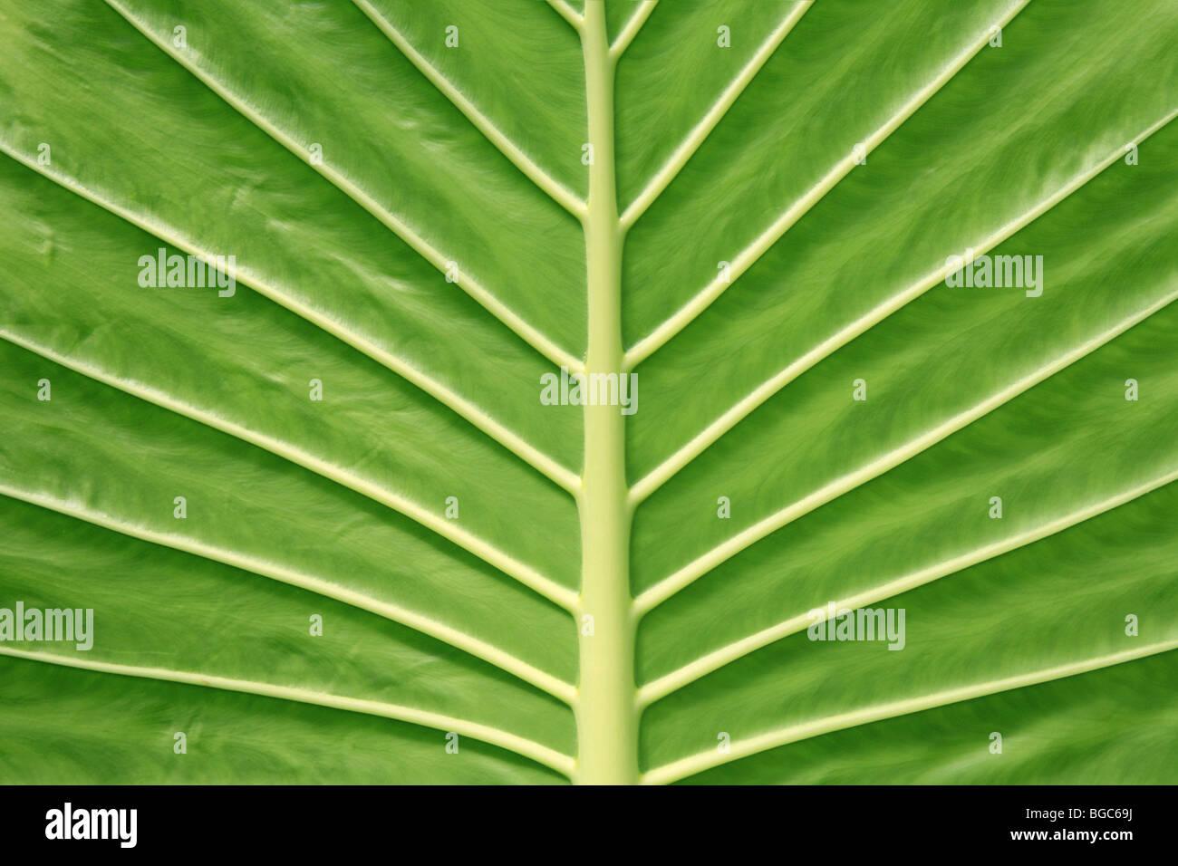 Big Green Leaf Veins Underside Symmetry Symmetrical