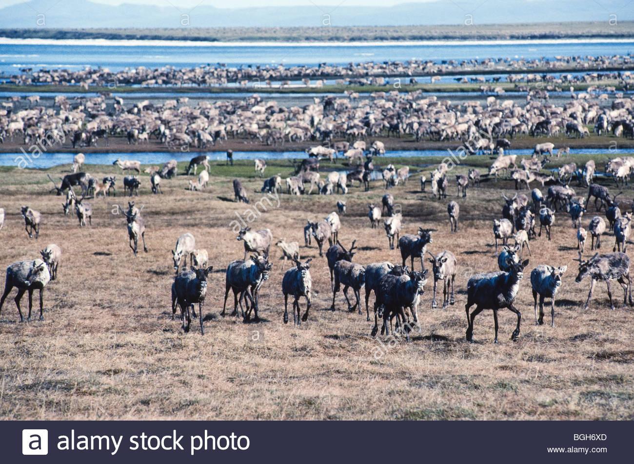 Porcupine Caribou Herd Population Chart