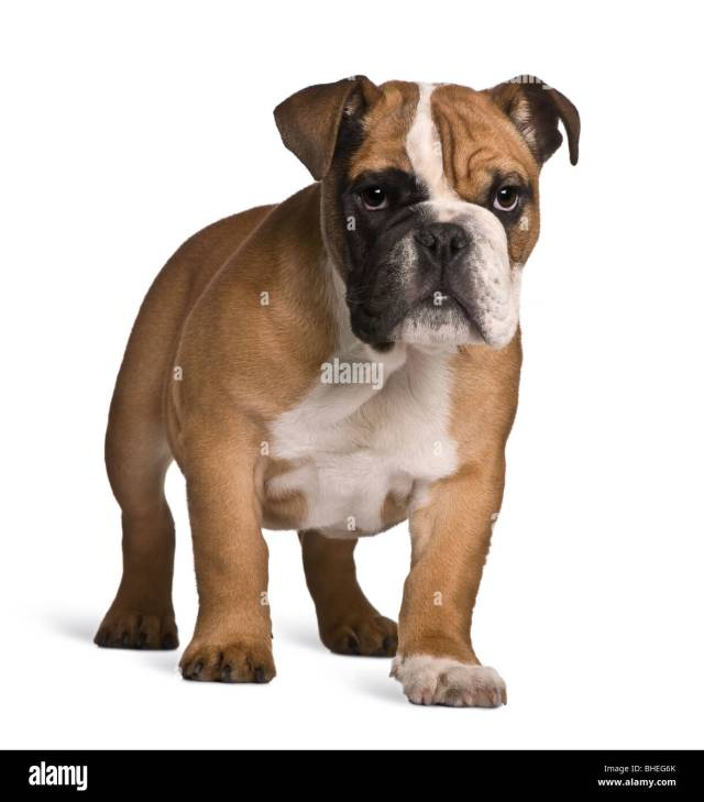 english bulldog puppy, 4 months old, standing in front of