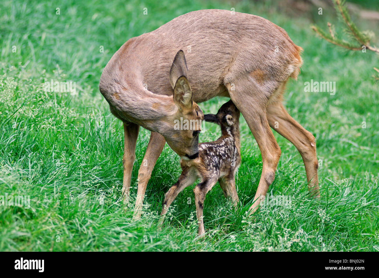 Europaean Roe Deer Calf Fawn Capreolus Capreolus Animal Animals Young Stock Photo