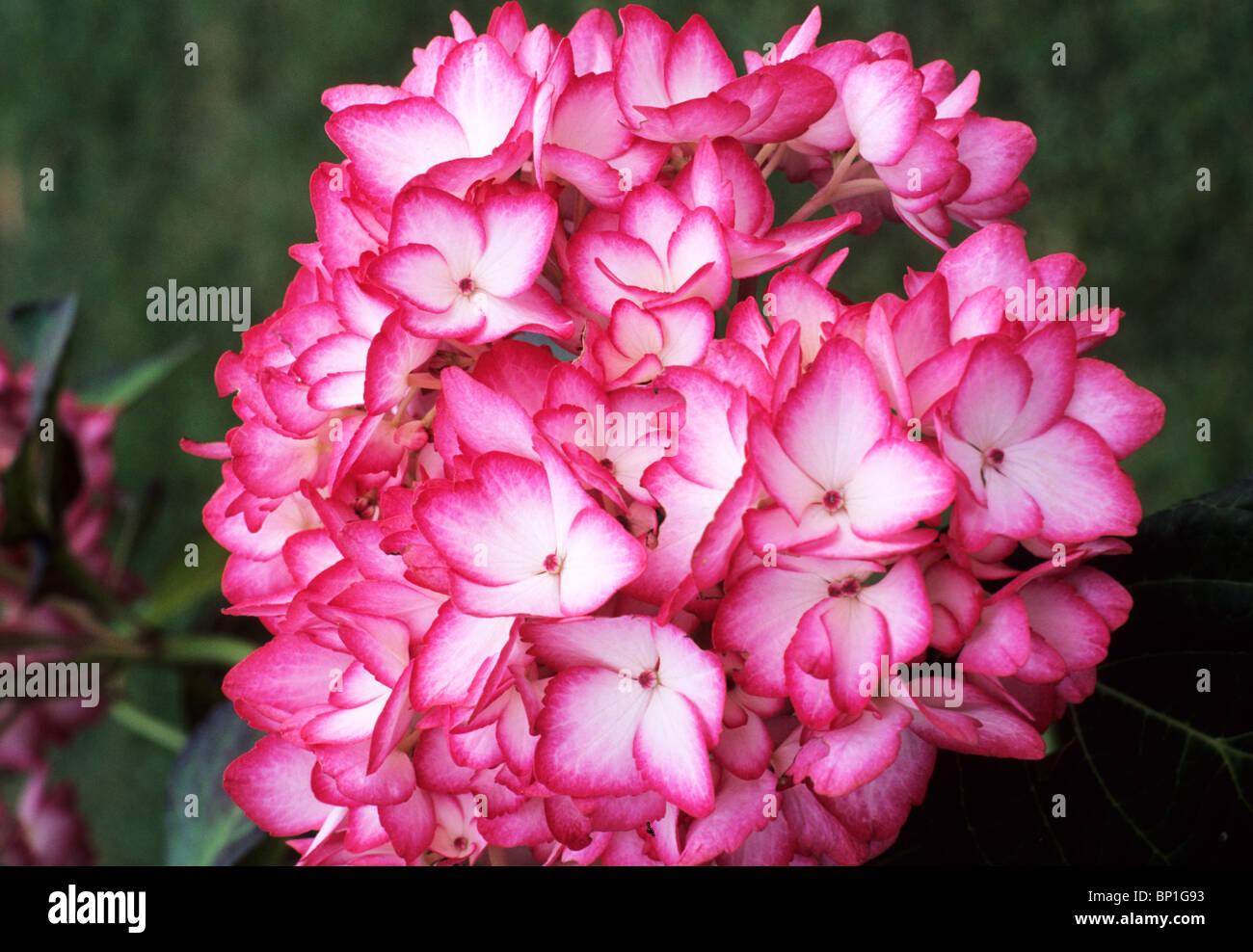 Hydrangea Serrata Mira Red Pink Flower Flowers Garden Plant