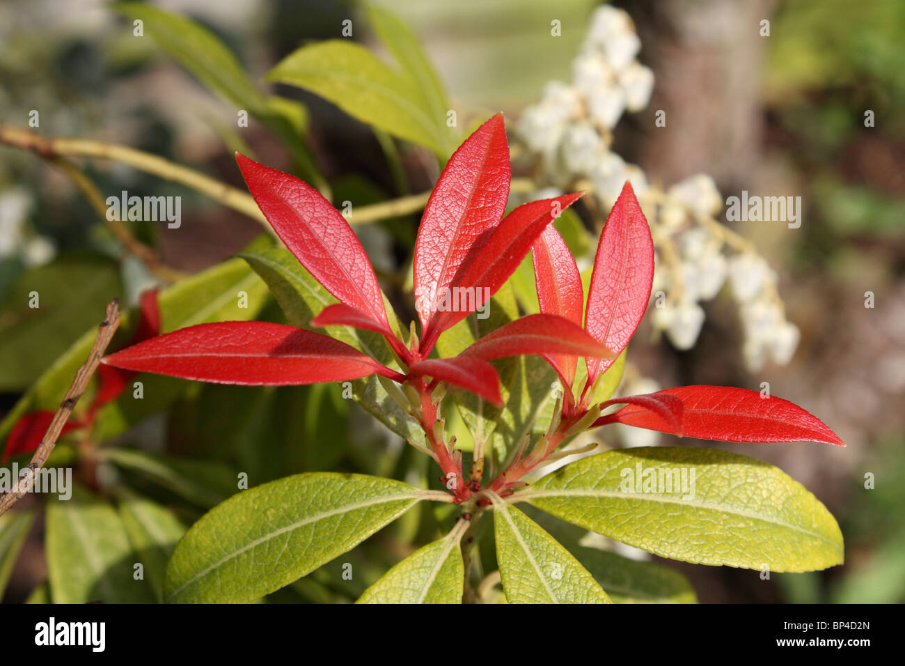 Red Leaves White Flowers Stock Photos Red Leaves White Flowers