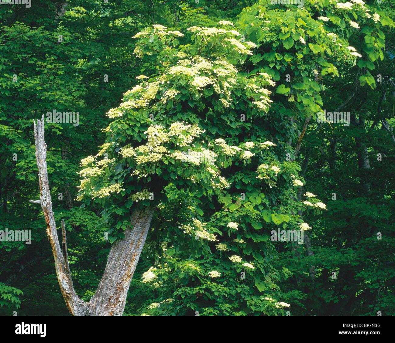 Hydrangea Vine Stock Photos Hydrangea Vine Stock Images Alamy