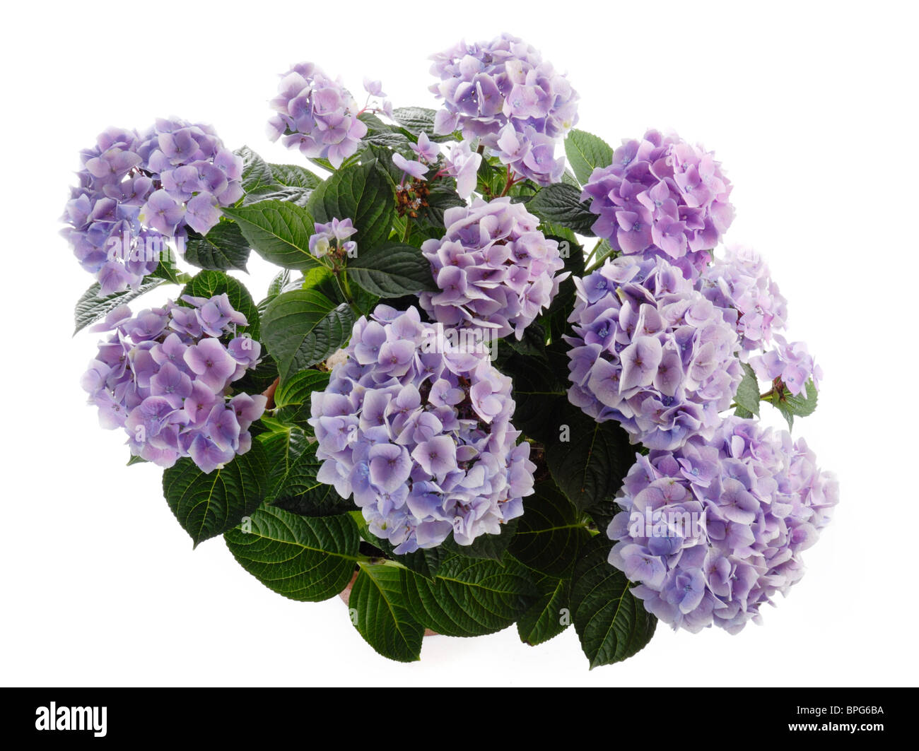 Hortensia Stock Photos Hortensia Stock Images Alamy