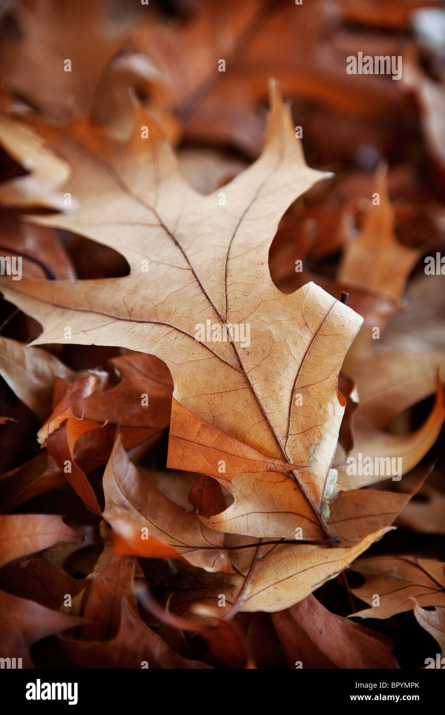 Autumnal Oak Leaves Stock Photos Autumnal Oak Leaves Stock