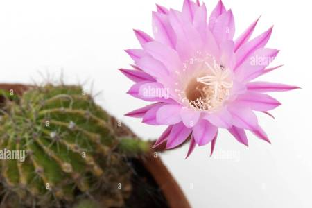 Beautiful flowers 2019 pink cactus flower beautiful flowers pink cactus flower various pictures of the most beautiful flowers can be found here find and download the prettiest flowers ornamental plants mightylinksfo