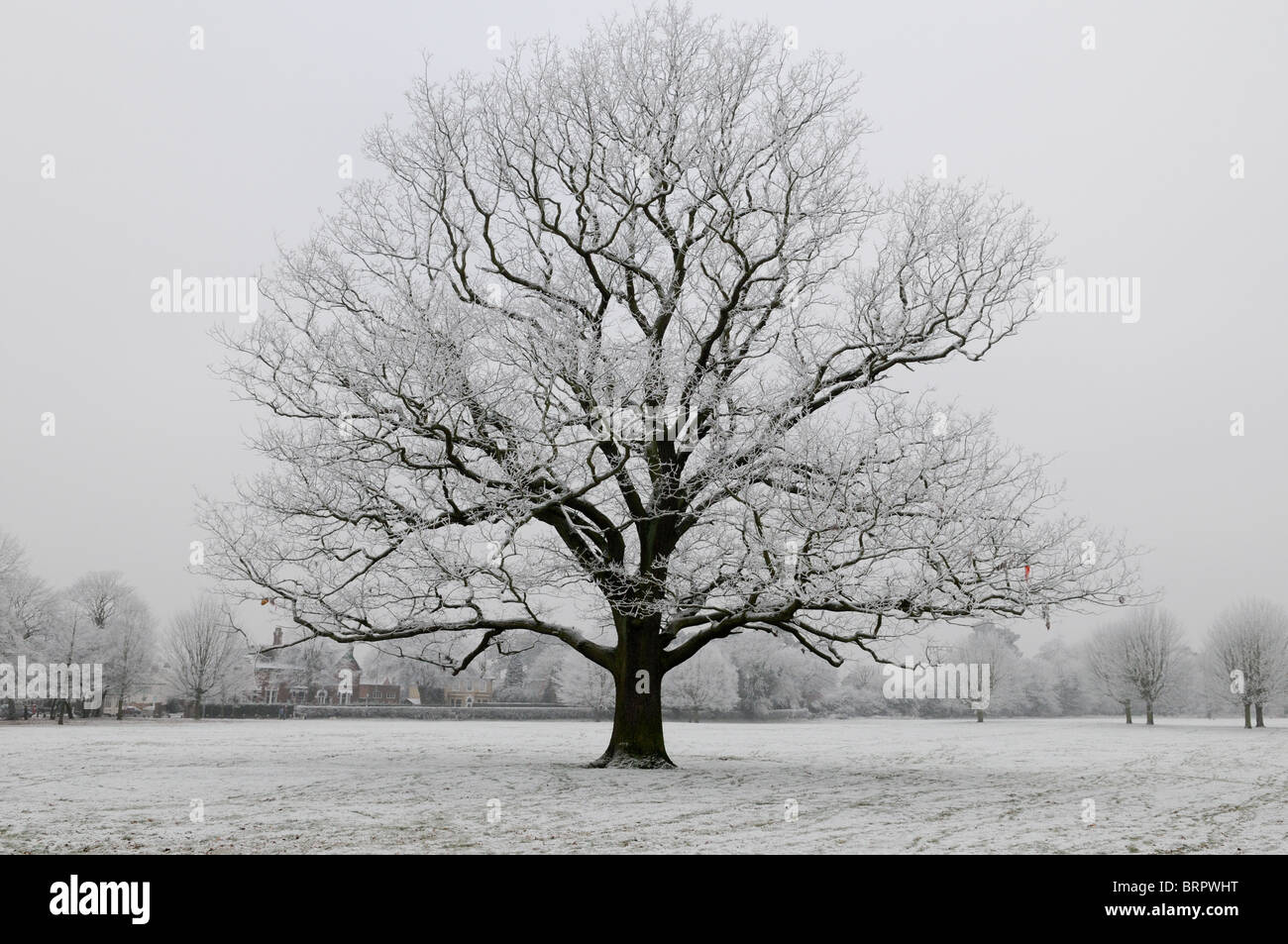 Old Oak Tree Covered In A Heavy Frost Set Against A Grey