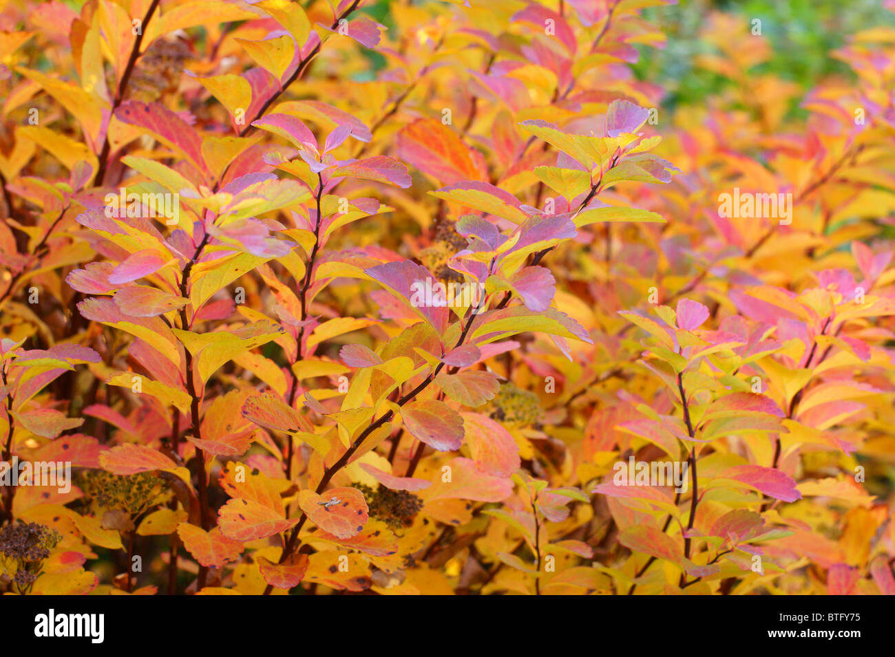 Barberry Stock Photos Barberry Stock Images Alamy