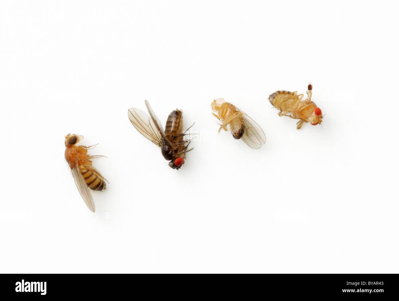 Drosophila Melanogaster Genetic Variations