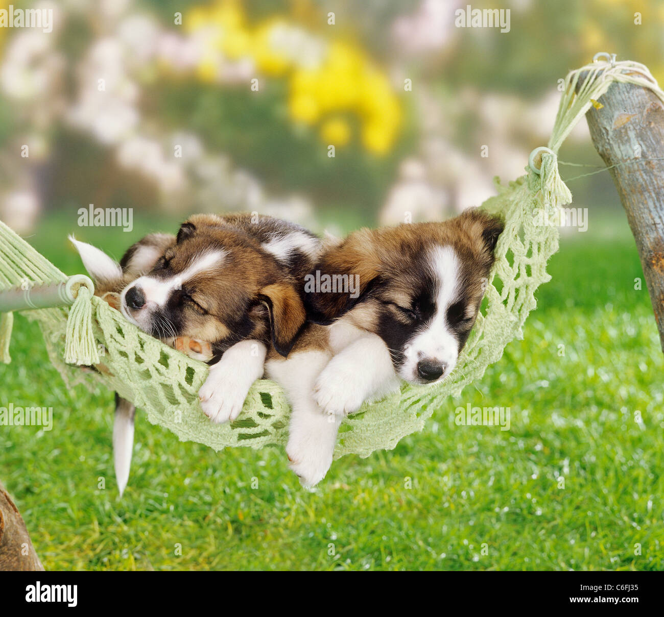 Mixed Breed Dog Four Puppies 5 Weeks Old Sleeping In A