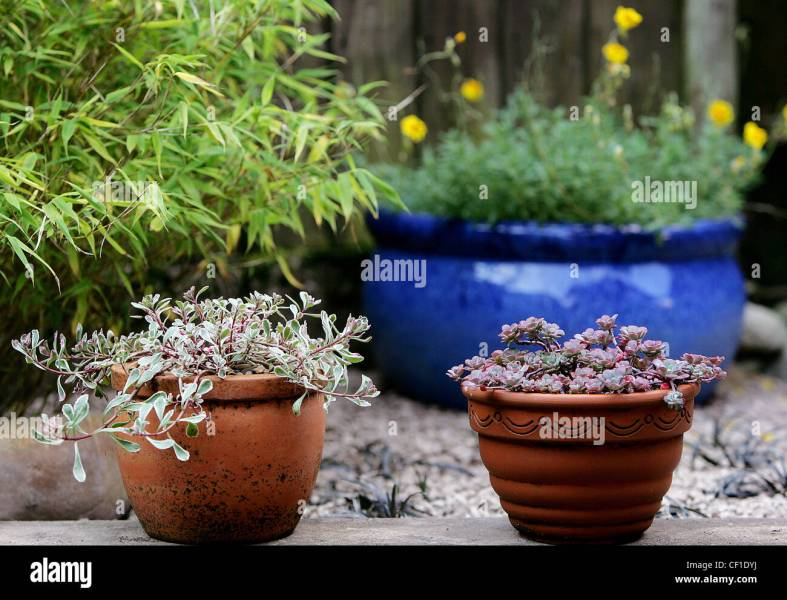 Yellow Blue Plant Pots Stock Photos   Yellow Blue Plant Pots Stock     Bamboo  a large blue pot with yellow flowering plant  two small terracotta  pots with