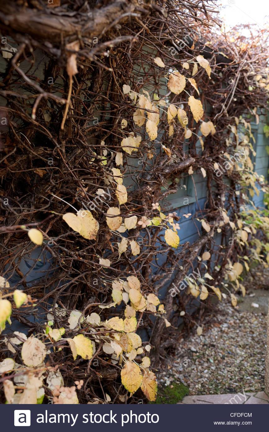 Climbing Hydrangea Winter