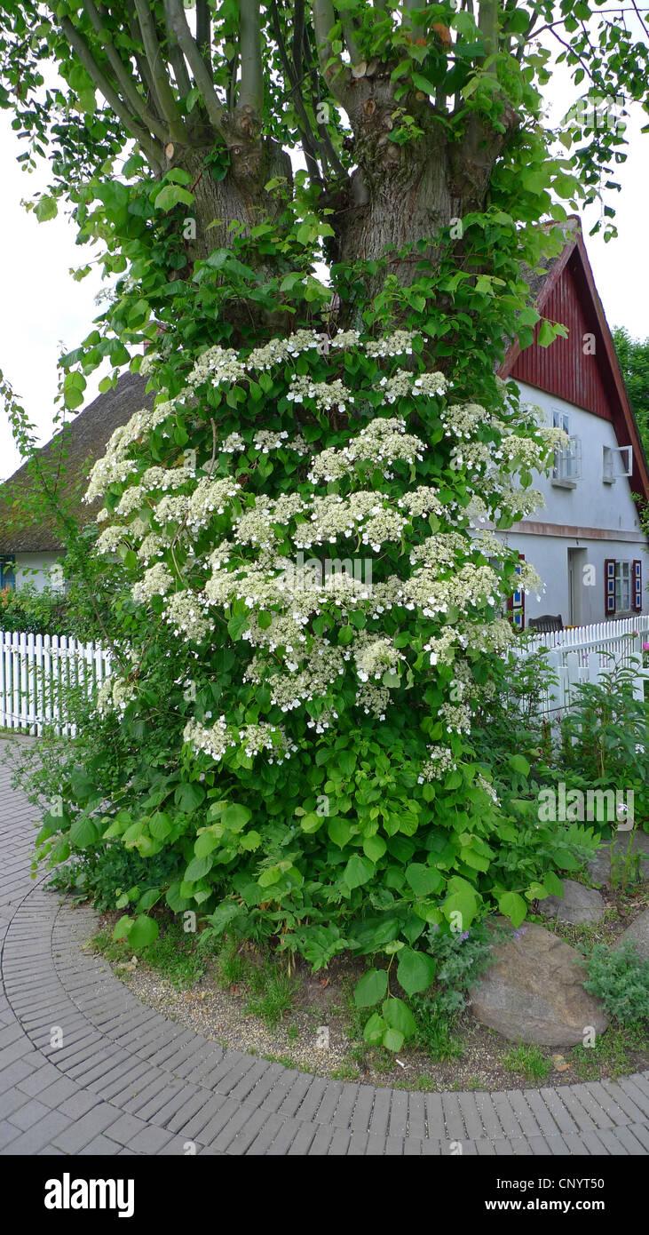Climbing Hydrangea Stock Photos Climbing Hydrangea Stock Images