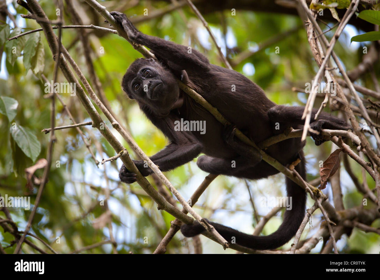 Howler Monkey Predators