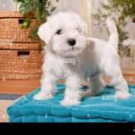 White Miniature Schnauzer Puppy On A Pillow Stock Photo Alamy