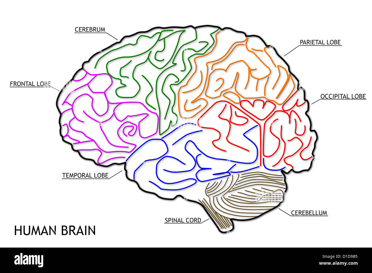 The Human Brain Structure Stock Photo