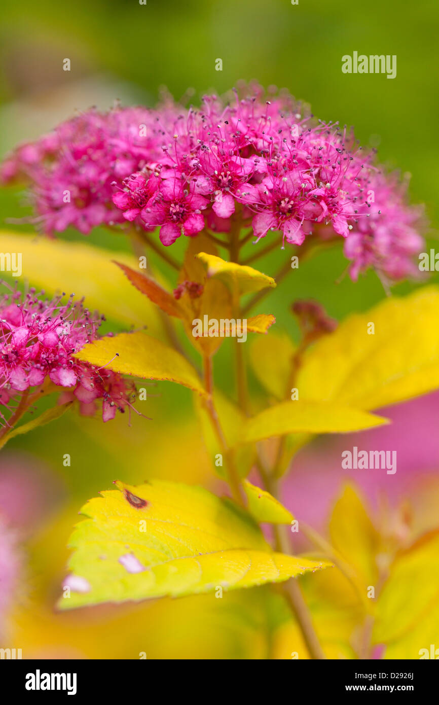 The Spiraea Stock Photos The Spiraea Stock Images Alamy