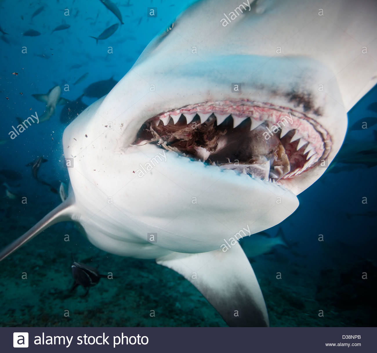 Close Up Of Bull Sharks Teeth Stock Photo Royalty Free