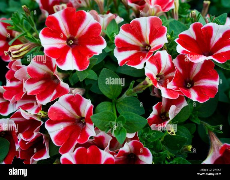 A new breed of petunia flowers with the name  Feine Fine  is     A new breed of petunia flowers with the name  Feine Fine  is pictured at a  greenhouse of the horticultural company Fontana Gartenbau in Manschnow   Germany
