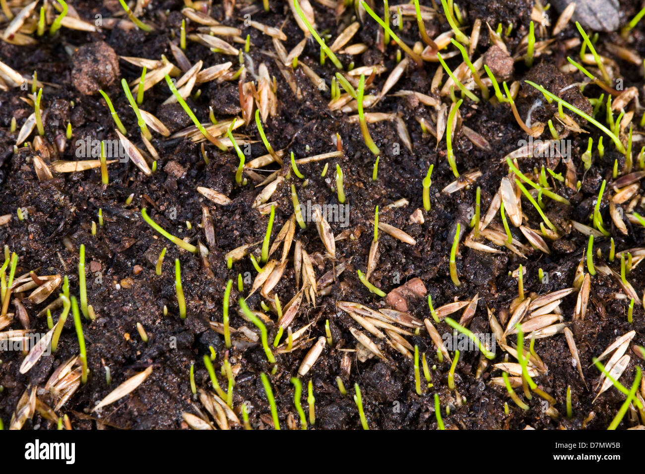 Germination Of Grass Seeds Germinating After Being Sown On