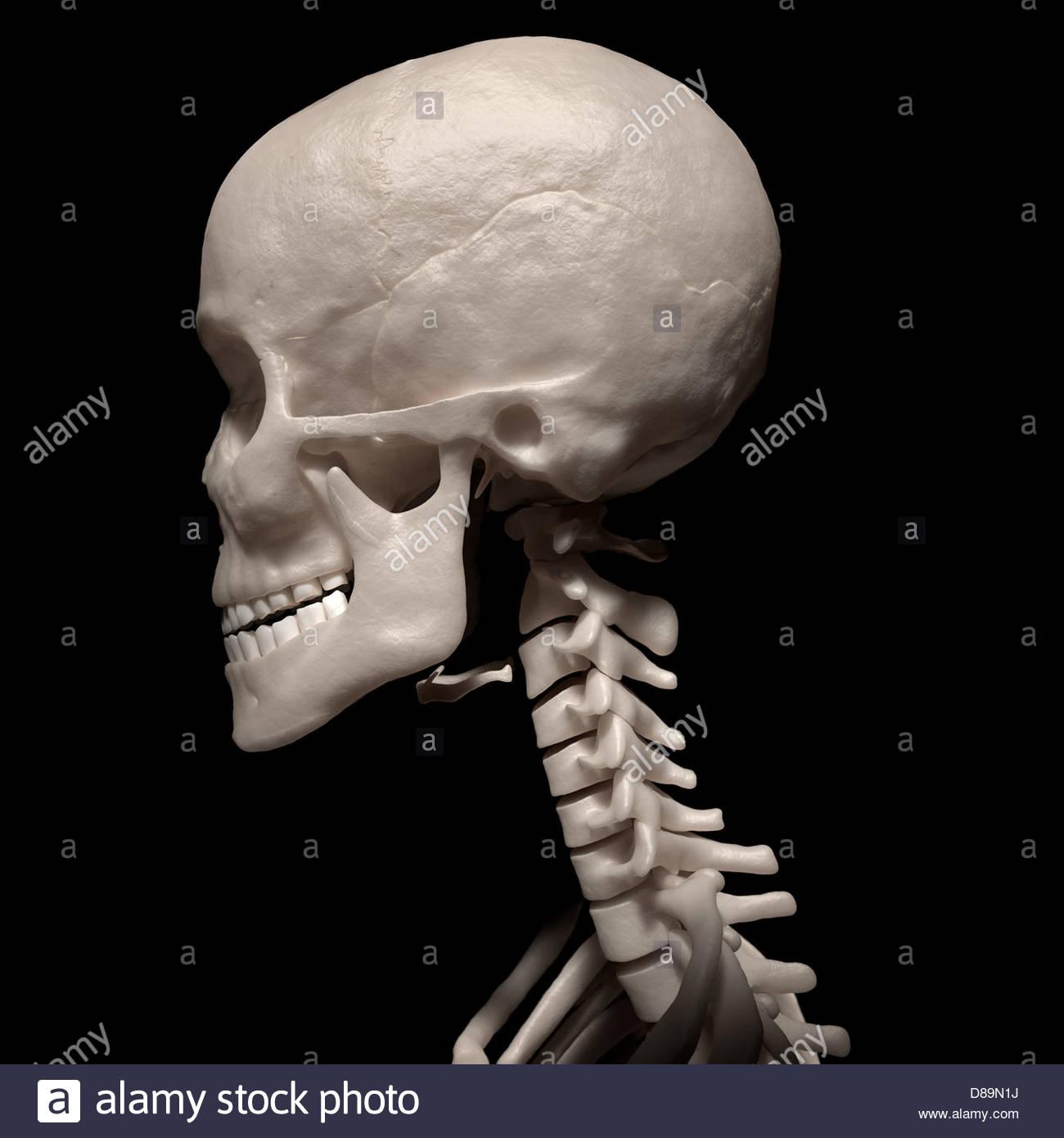Side View Bones Head Neck Stock Photos Amp Side View Bones