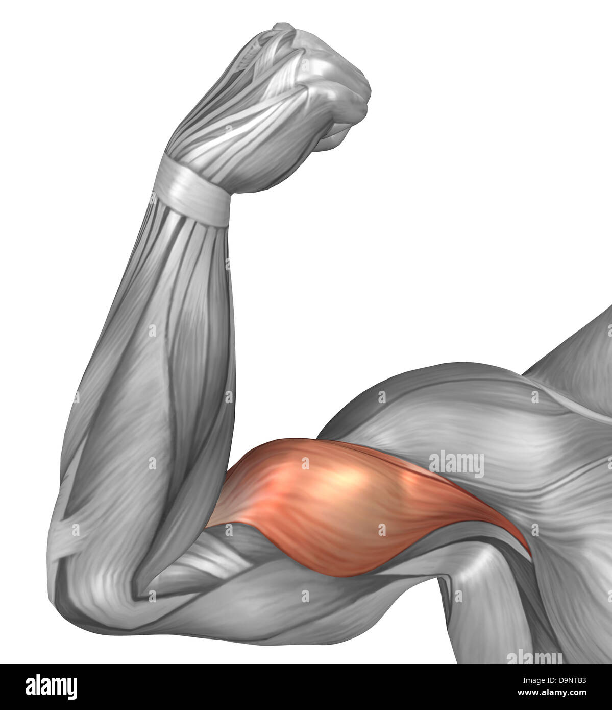Illustration Of A Flexed Arm Showing Bicep Muscle Stock