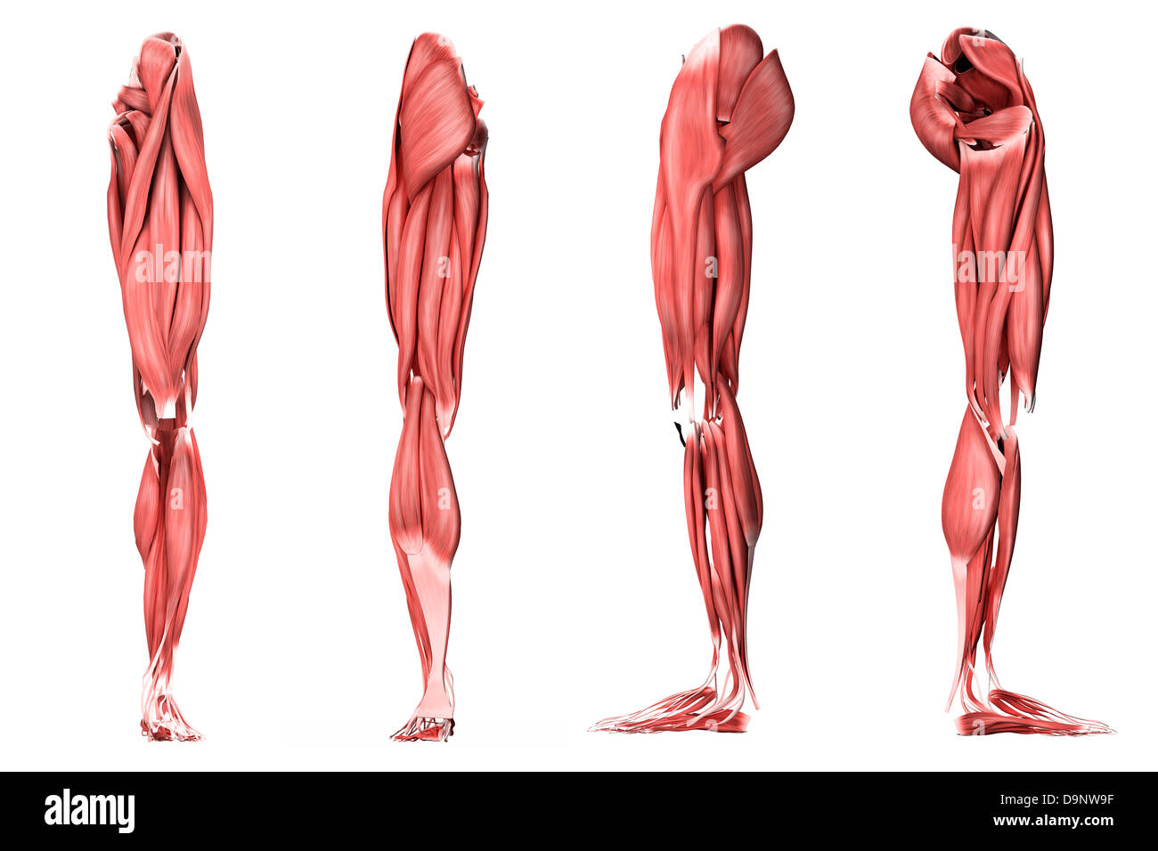 Medical Illustration Of Human Leg Muscles Four Side Views