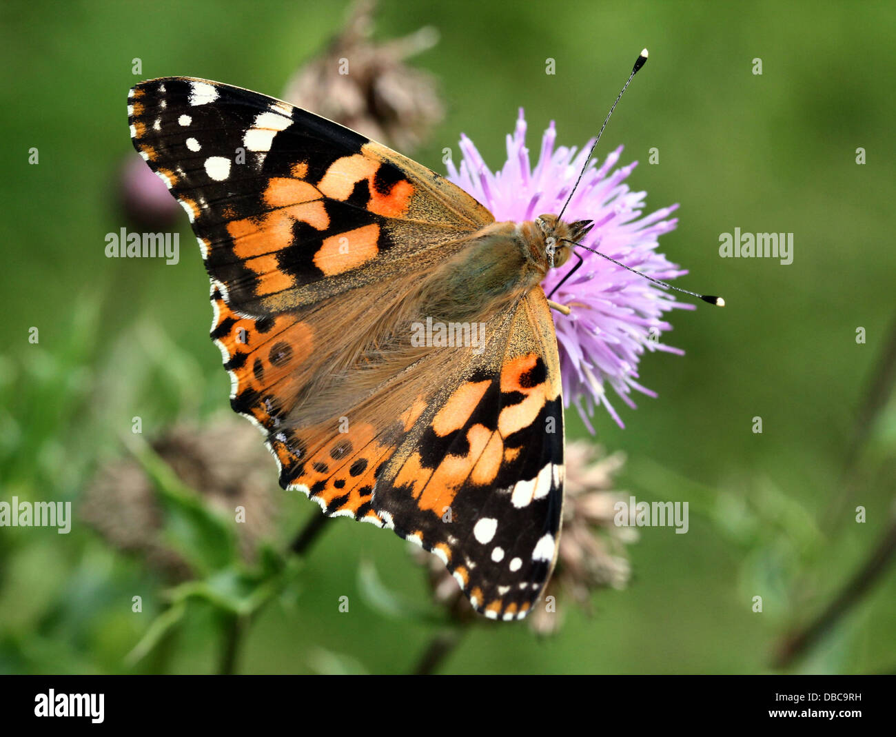 Painted Lady Butterfly Images Stock Photos Amp Painted Lady
