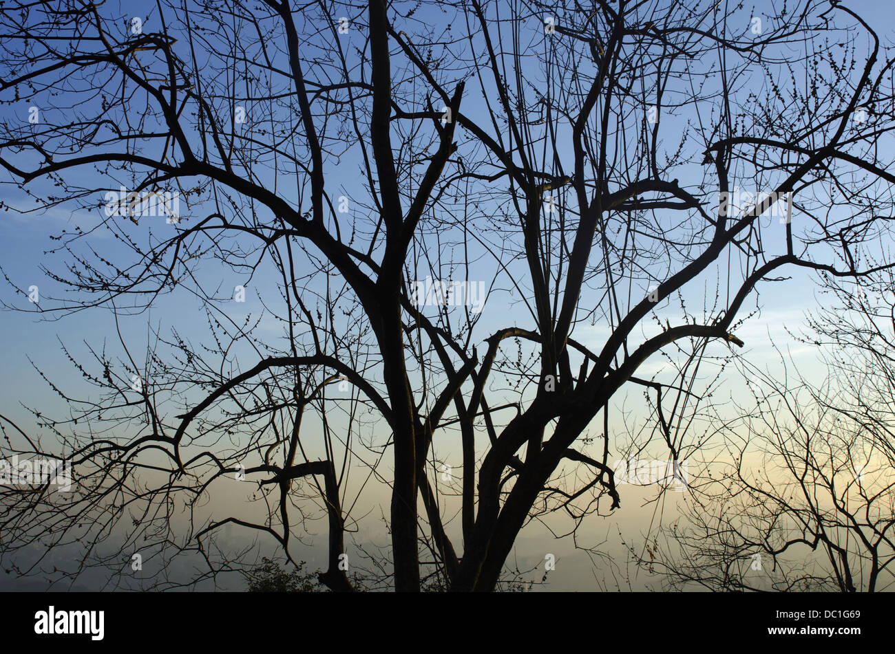 Tree Without Leaves In Winter Season Parvati Hill Pune