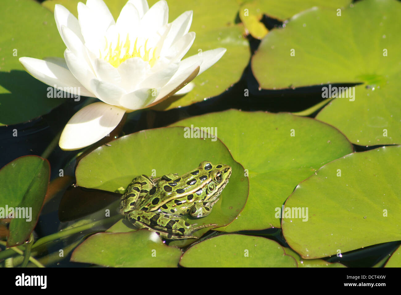 A Green Frog With Black Spots On A Lily Pad Next To A