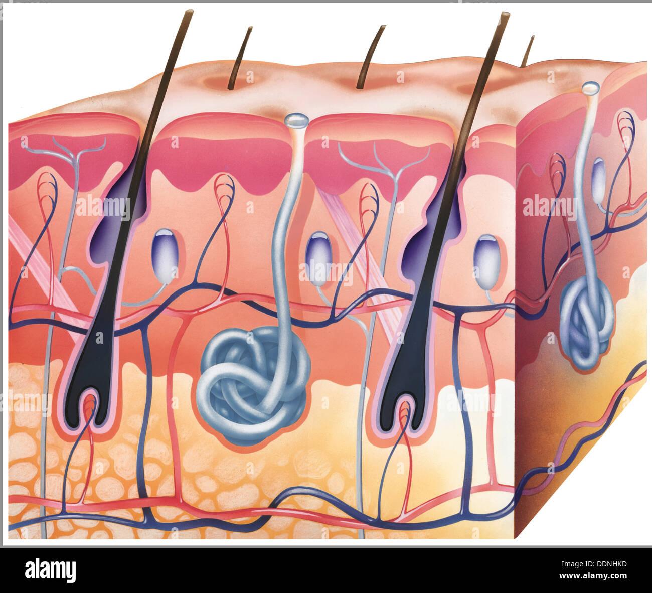 Human Skin Cross Section Stock Photos Amp Human Skin Cross