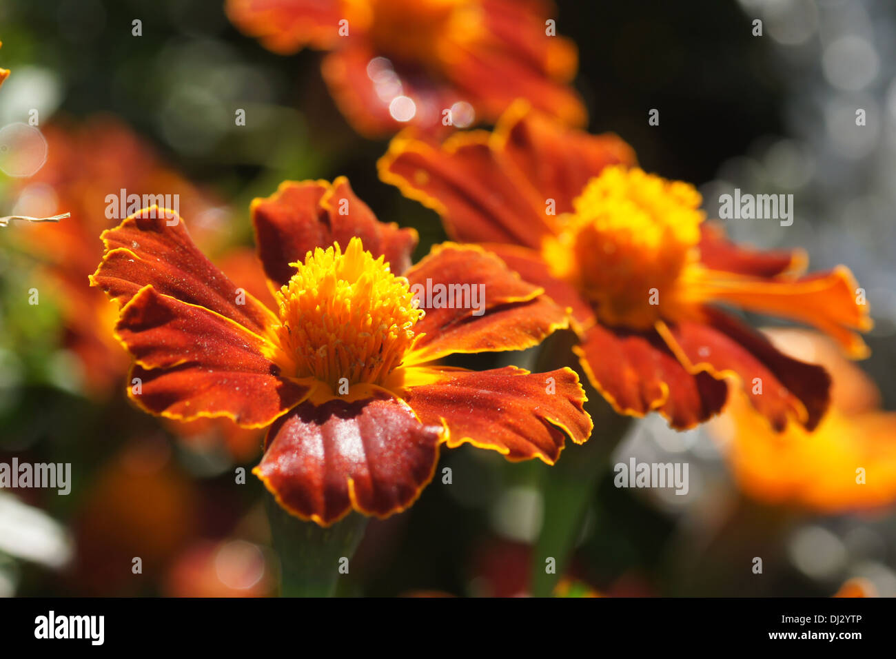Morning Marigold Flowers Stock Photos   Morning Marigold Flowers     Marigold   Stock Image
