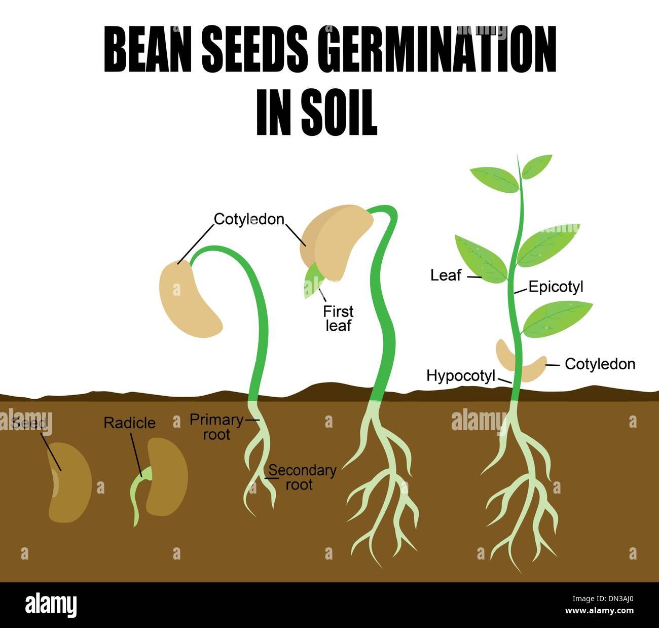 Sequence Of Bean Seeds Germination Stock Vector Art