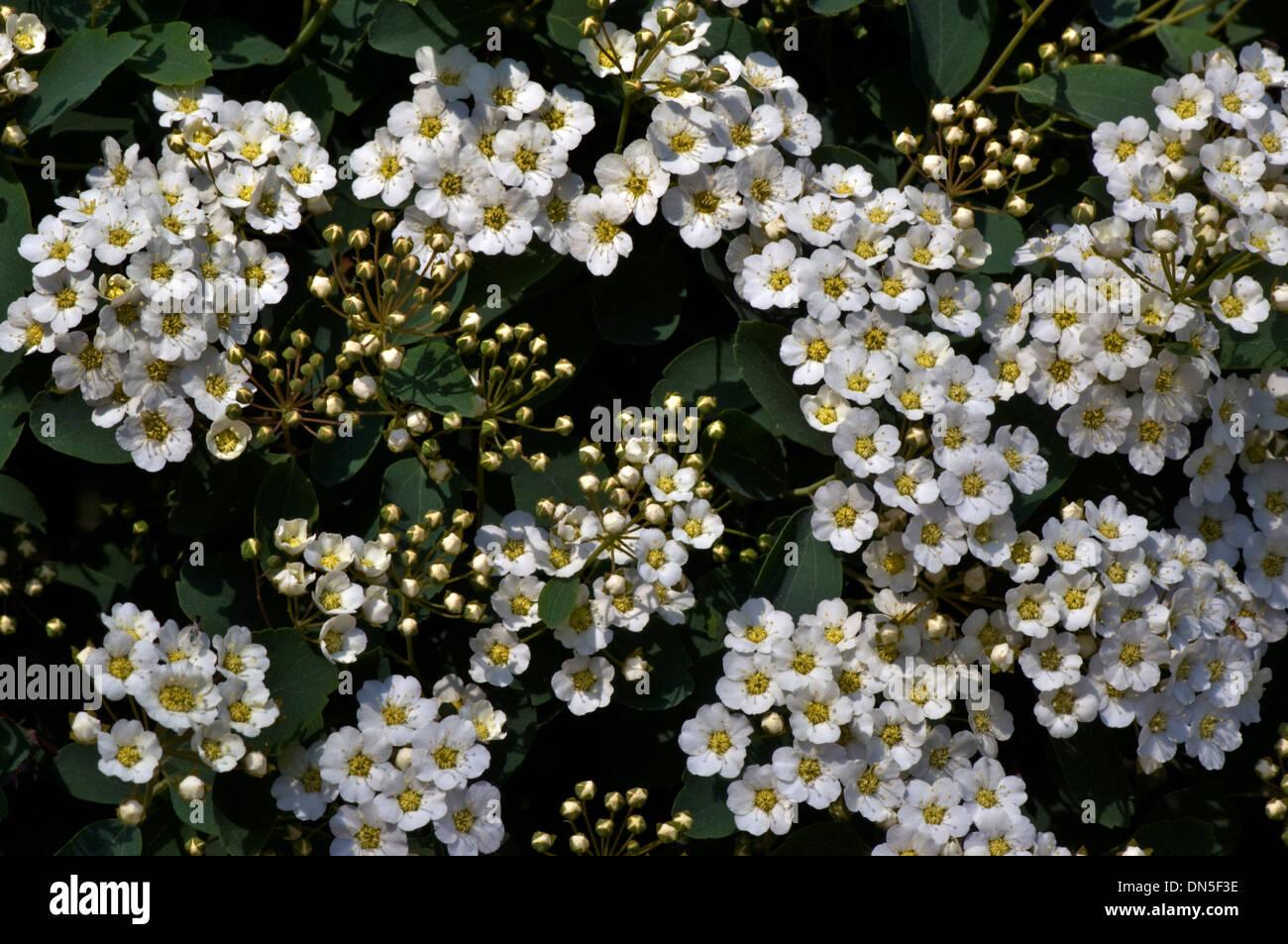 Tiny White Flowers Stock Photos Tiny White Flowers Stock Images