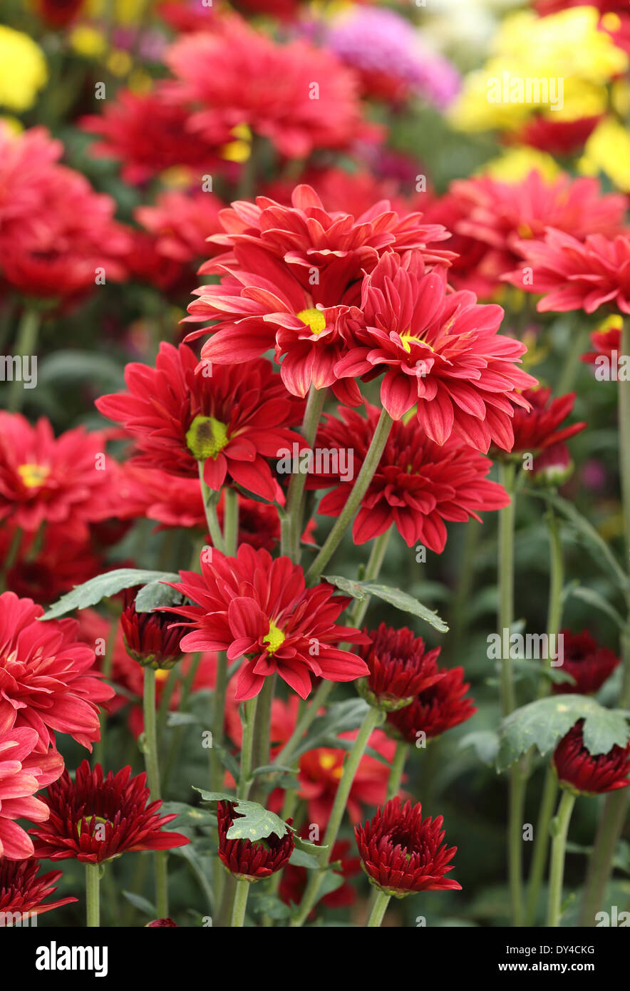 red chrysanthemums flowers in the garden Stock Photo  68324580   Alamy red chrysanthemums flowers in the garden