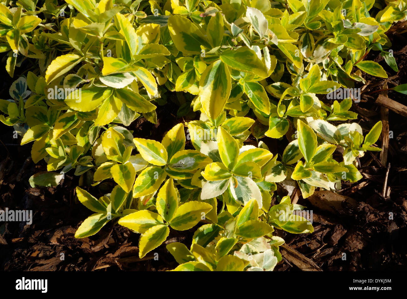 Gold Variegated Foliage Stock Photos Gold Variegated Foliage