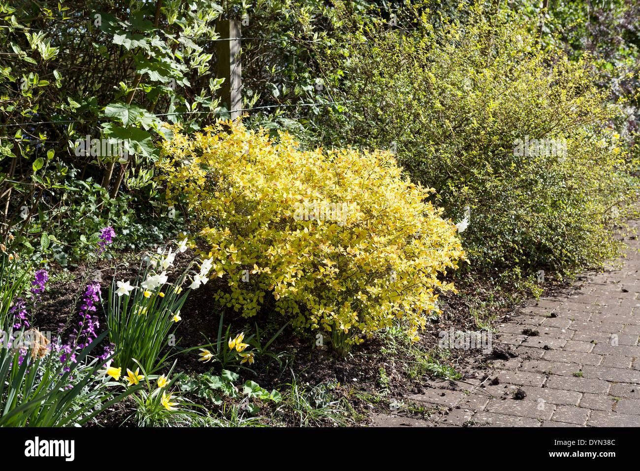 Spiraea Stock Photos Spiraea Stock Images Alamy