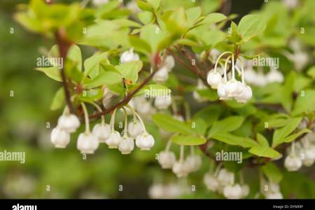 Shrub with bell shaped flowers flower shop near me flower shop decoration ideas unique little white bell shaped flowers ensign images for wedding enchanting bush with small white bell sparkleberry vaccinium arboreum mightylinksfo