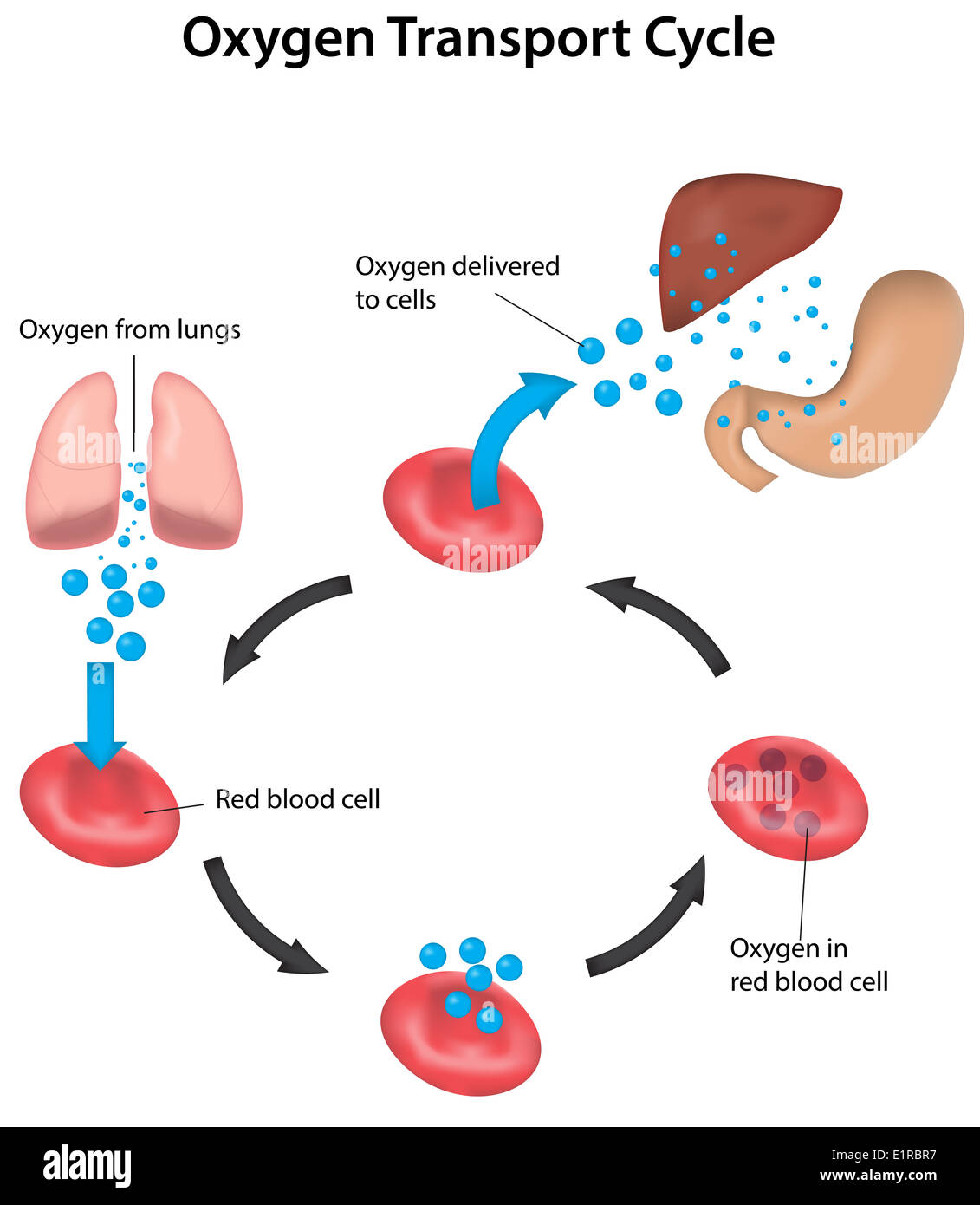 11 Organ Systems Worksheet